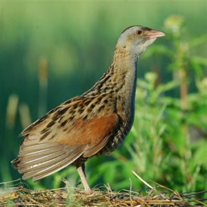 Our Friend, The Quail